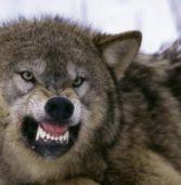 Crasti. Attenti al lupo!